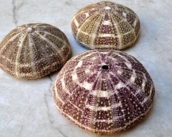"Alfonso (Gator) Sea Urchins (3 pcs.) - (3+"") - Toxopneustes Pileolus"