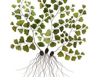 Maidenhair Fern Botanical Print, botanicals, woodland fern art, giclee art print, floral art, watercolor print