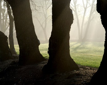 Mist Among Oaks - landscape photograph - nature trees forest fog woodland dawn morning california