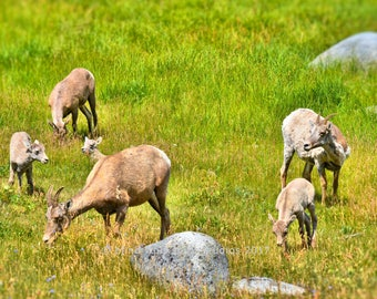 Baby Bighorn Sheep Photo, Woodland, Animal Babies, Wildlife Photography, Fine Art Photography