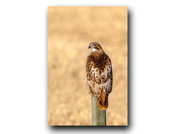 Red-tailed Hawk, Hawk Print, Hawk Photo, Hawk Image, Bird of Prey, Bird Picture, Bird Photography, Bird Art, Bird Print, Hawk, Raptor Photo