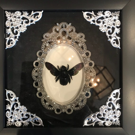 Real black carpenter bee taxidermy display