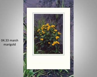 04.33 Marsh Marigold Individual Note Cards