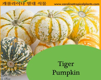 Mini Tiger Pumpkin Seeds - 10
