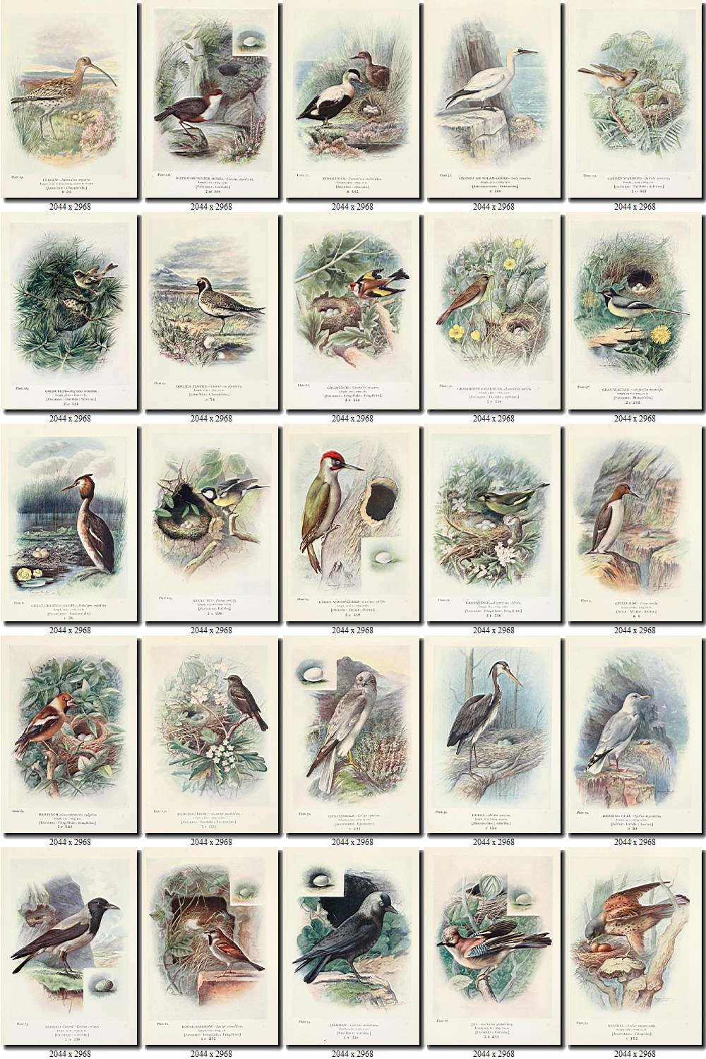 BIRDS-225 Collection of 244 vintage pictures Buteo Buzzard Bullfinch ...