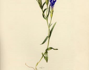 Vintage lithograph of the fringed gentian from 1953