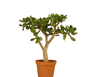 "Jade Plant Succulent Crassula Ovata 16"" to 18"" Tall Rooted Succulent House Office Plant Gift Ready to Pot"