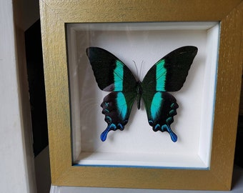 Pretty taxidermy butterfly in recycled frame