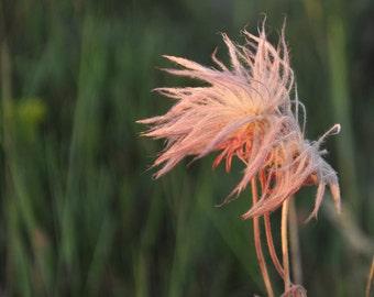 Prairie smoke bush after bloom