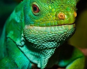 Fiji Iguana - Reptile Lizard