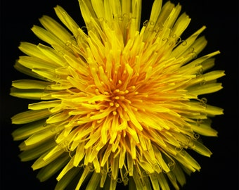 Dandelion — Who Knew