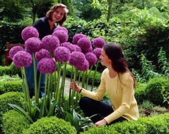 10Pcs Purple Giant Allium Giganteum Flower Black Seeds