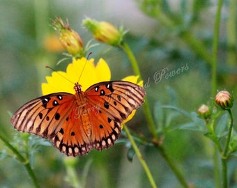 Closeup Butterfly on Wildflower Signed Photograph 4x6 Matted Print