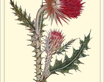 MUSK THISTLE - Botanical print reproduction
