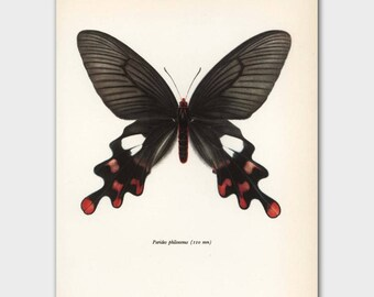 """Butterfly Illustration (1960s Loft Decor, Vintage Bedroom Art) Black and Red Butterfly Print --- """"Himalayan Windmill Swallowtail"""" No. 70-1"""