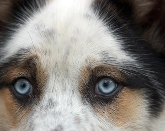 A Blue Eyed Dog Fine Art Photo Intense Stare of This Beautiful Animal