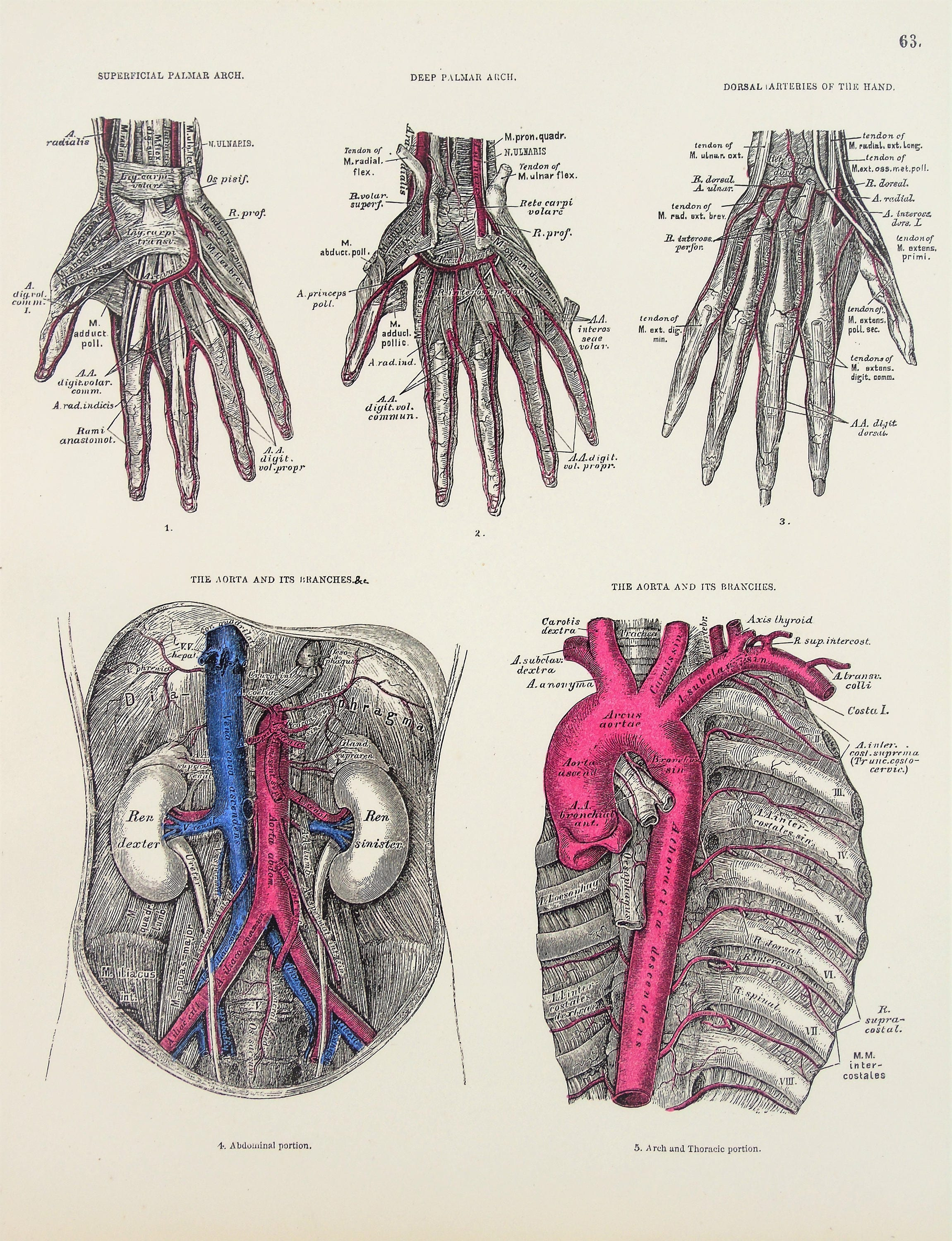 Arteries Of The Chest Abdomen Hands Veins Aorta 1880s