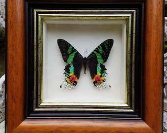 Gorgeous framed exotic Madagascan Sunset moth