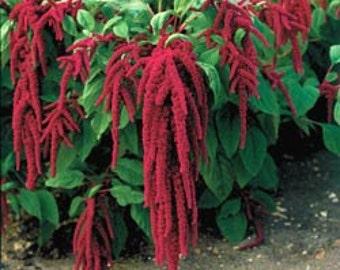 500 BULK Seeds Love Lies Bleeding, Flower, Unique plant