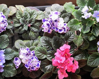 African Violets, Propagation and Care