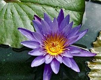 Blue Lotus Flower