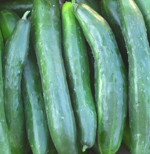 Shintokiwa Cucumber