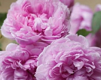 Free Shipping! Purple Peony Seedlings Flower Seeds, 5 Seeds, Fragrant Shrubbery Peony for Garden Purple Peony Spring Planting Gardens