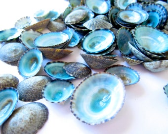 "Limpet Seashells-0.5-1""-25 pieces-Beach Wedding Decor-Crafting Seashells-Blue Seashell-Beach Decor-Bulk Seashells"