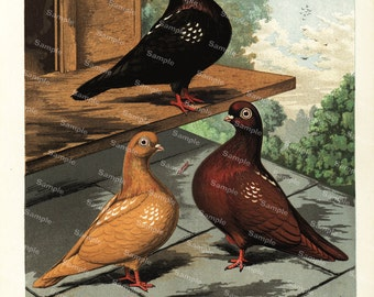 Color Lithograph Antique Natural History Pigeon Print  Flying Tumblers Robert Fulton 1880