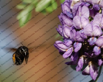 Purple Flower Flying Bee Photo Wall Art, Nature Photography, Picture, 16x20