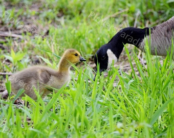 Canadian Goose and Gosling Photograph // Baby Bird Print // Canade Goose Picture // Bird Photograph