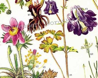 Columbine Helleborus Anenome Ranunculus Flower Poster Botanical Exotica Europe Large Vintage Illustration To Frame 8