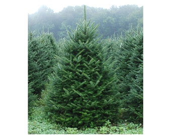 """Fraser Fir, 3 Potted Plants in 2.5"""" Pot, Christmas Tree, Dark Green Blue Needles, Coniferous, Evergreen, Fragrant, Accent Tree, Easy Care"""