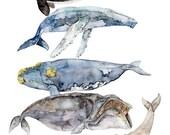 Whale Species, Whale Pain...