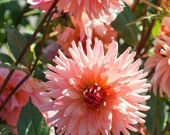 Dahlia Preference| Garden/Cutting Dahlia