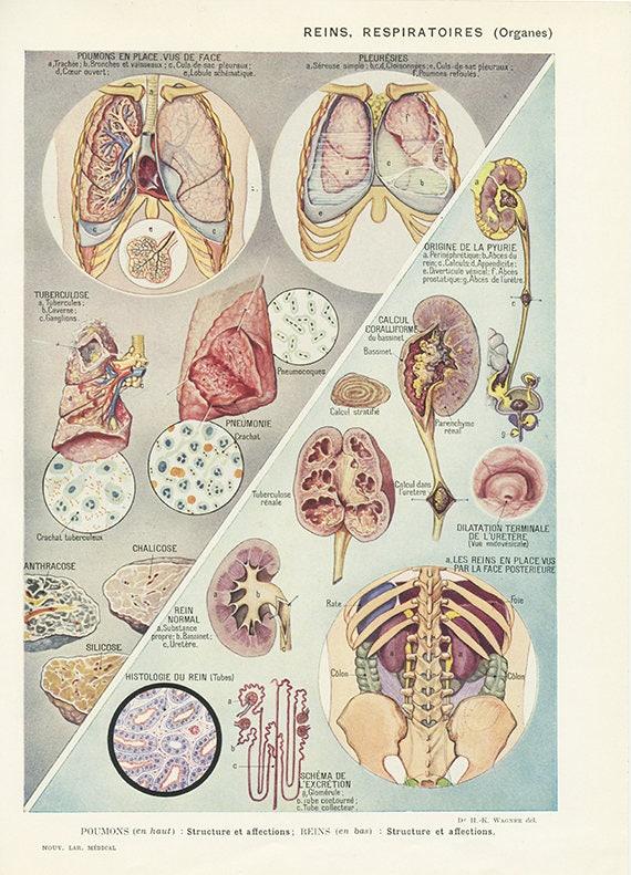 Small Anatomy Art 1962 Vintage Lungs Kidney Print Medical