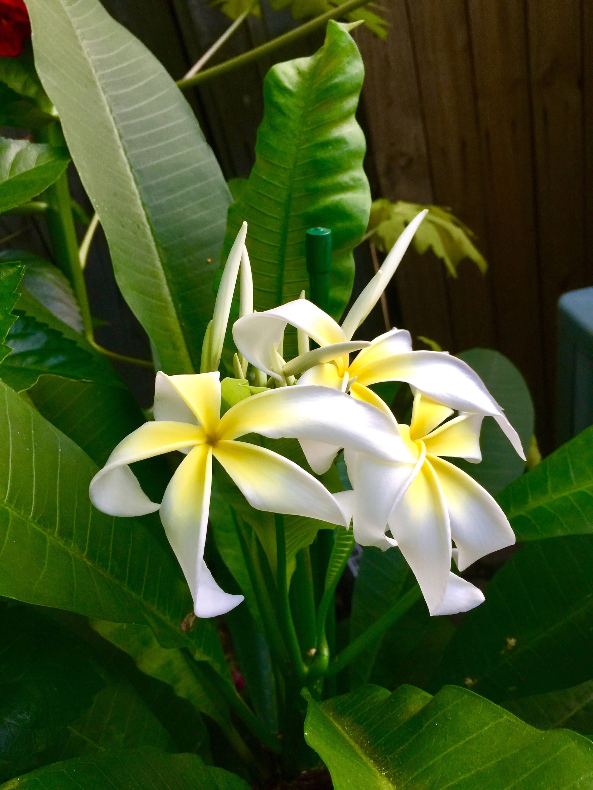 Beautiful plant plumeria frangipani yellow flowers seedling beautiful plant plumeria frangipani yellow flowers seedling hawaiian plumeria flower stenopatala a perfect gift izmirmasajfo