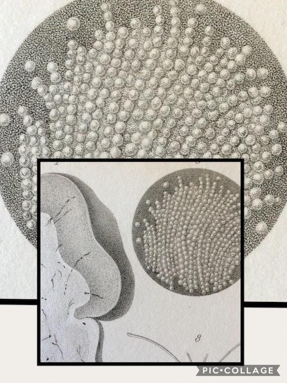 Antique 1828 Brain Anatomy Engraving Bee Brain Human Brain