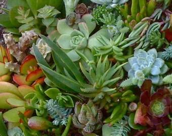 35 SUCCULENT CUTTINGS, Wedding Favors, Vertical Garden, Terrarium, Wreath.