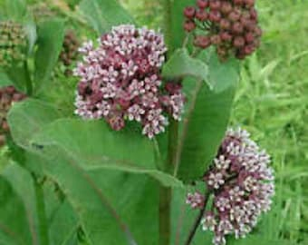 Organic Pink Common Milkweed seeds Buy 2 Get 1 Free save the Monarch butterfly! Perennial Sweet scented blossoms