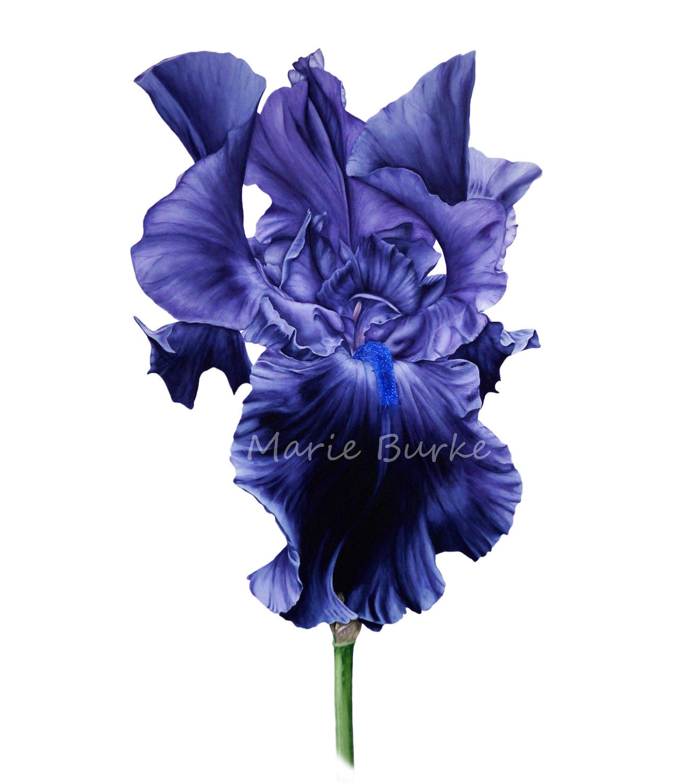 Black iris botanical print iris print watercolour painting zoom izmirmasajfo