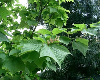 10   Acer rufinerve Seeds, Snakebark maple Seeds