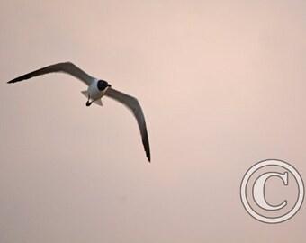 Nature Photos Gull Banking Left Photo Print