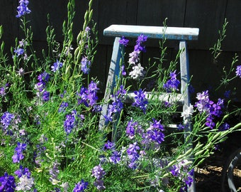 Larkspur Mix Seeds, Purple Larkspur, Consolida ambigua Seeds, Great for Cut Flower Gardens and Market Garden, Pollinator Garden Favorite