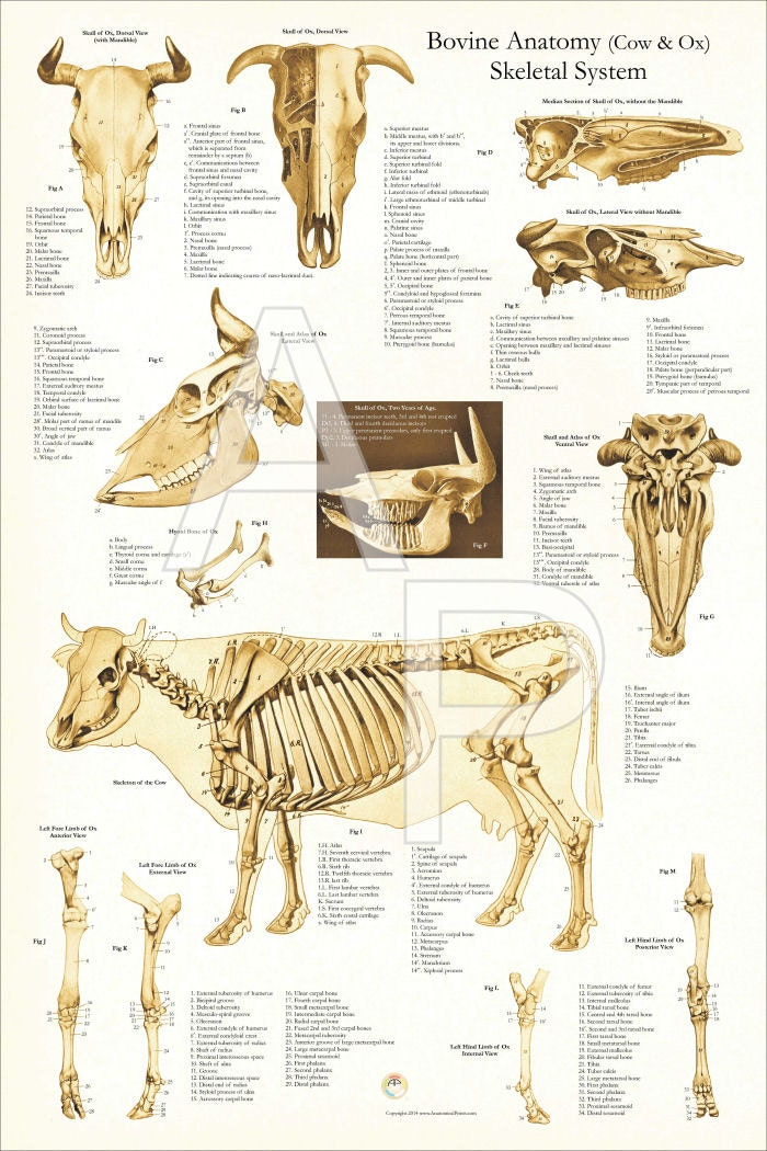 Kuh Skelett Anatomie Poster Wall Chart 24 X 36