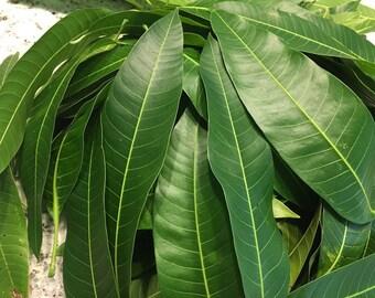 100+ Florida Fresh Mango Leaves Organic No Pesticide No Chemical USA South Florida Free Shipping Cost