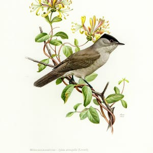 Vintage lithograph of the Eurasian blackcap from 1957