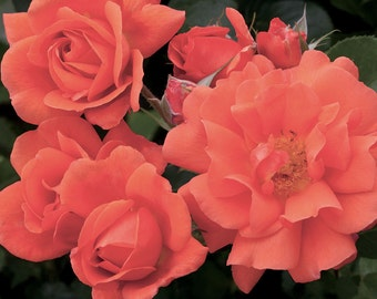 Above All ™ Rose Bush Fragrant Climbing Rose Grown Organic Potted  - Own Root Rose Plant Non-GMO - Improved Westerland Rose SHIPS NOW