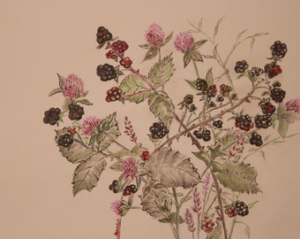 Wild Blackberries among the Lavender and red clover Still life Illustration