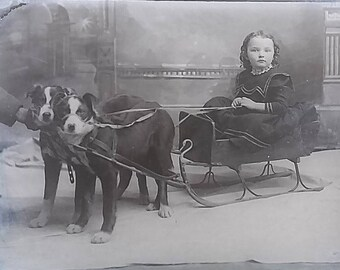 Border Collies Pulling Sled Pretty Girl Curly Hair Dogs Glass Photo Negative 1890-1920 5x7 #599